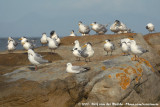 Gull and Tern roost