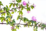 Alaska Flowers Close-Up