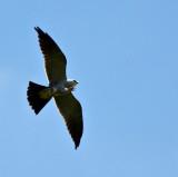 Mississippi kite eating dragon fly