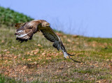 Long Legged Buzzard