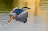 Night Heron at daybreak