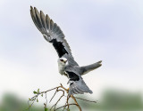 Black Winged Kite
