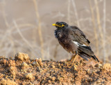 Myna - the bird everybody likes to hate...