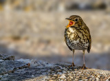 Song thrush in distress