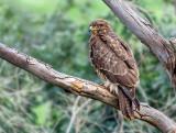 A gloomy buzzard