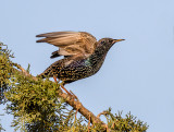 Fly starling, fly !
