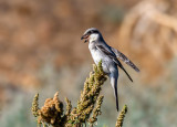 Grey shrike in a vocal performance