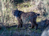 Iberian lynx quest and more