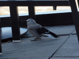 A bird in the hotel in the Columbia Icefield