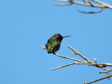 My first posted picture of a hummingbird!