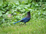 Could this be a Steller's jay?