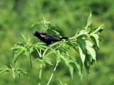 At Forest Park, St. Louis - a red-winged blackbird