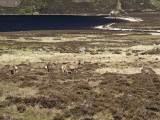 Red Deer in Glen Muick