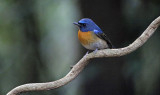 Chinese Blue Flycatcher, Cyornis glaucicomans.  Kinesisk flugsnappare