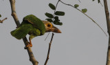 Lineated Barbet,  Psilopogon lineatus. Streckig barbett