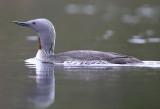 Birds in Sweden  Divers to Ducks