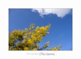 01 2017 C Tanneron Mimosa_MG_0259 .jpg
