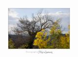 01 2017 C Tanneron Mimosa_MG_0261 .jpg