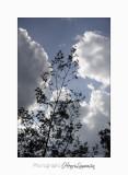 01 2017 C Tanneron Mimosa_MG_0269 .jpg