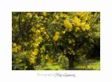 01 2017 C Tanneron Mimosa_MG_0358 .jpg