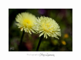 04 2017 A IMG_7039 Nature fleurs carros.jpg