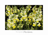 04 2017 A _MG_0003 Fleurs jardin Mouans-Sartoux.jpg
