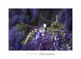 04 2017 B _MG_0103 2 Fleurs Glycine.jpg