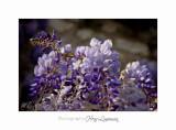 04 2017 B _MG_0114 2 Fleurs Glycine.jpg