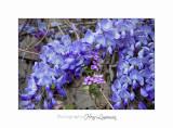 04 2017 B _MG_0122 2 Fleurs Glycine.jpg