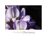04 2017 B _MG_1177 fleur glycine.jpg