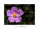 04 2017 C IMG_0480 Nice Fleur nature .jpg