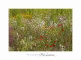 05 2017 A IMG_7791 Toscane Scarlino campagne fleurs.jpg