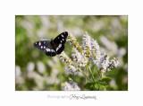 05 2017 B _MG_7376 papillon.jpg