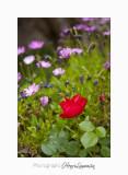 05 2017 C IMG_7569 fleur roses cyclades.jpg