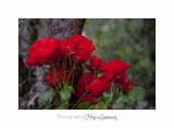 05 2017 C IMG_7571 fleur roses Cyclades .jpg