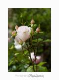05 2017 C IMG_7575 fleur roses Cyclades .jpg