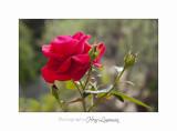 05 2017 C IMG_7576 fleur roses Cyclades .jpg