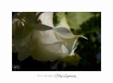 05 2017 D IMG_0863 Italie hanbury jardin fleur.jpg