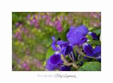 05 2017 E IMG_7090 Nature fleurs Carros MIP.jpg
