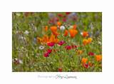 05 2017 E IMG_7297 MIP Jardin Mouan fleurs oranges Eschscholzia californica pavot de Californie.jpg