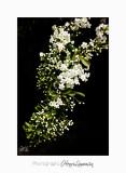 05 2017 G IMG_7166 Pe�gomas ecluse fleur.jpg