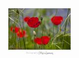 05 2017 G IMG_7226 Fleur coquelicot pe�gomas ecluse.jpg