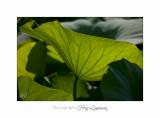 06 2017 J IMG_8500  Lotus Fontmerle.jpg
