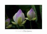 06 2017 J IMG_8515  Lotus Fontmerle.jpg