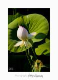 06 2017 J IMG_8546 Lotus fontmerle.jpg