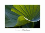 06 2017 J IMG_8578 Lotus fontmerle.jpg