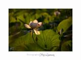 06 2017 J IMG_8626 Lotus fontmerle.jpg