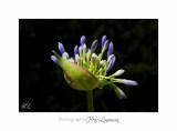 06 2017 L IMG_8481 fleurs cyclades  copie.jpg