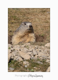 08 2017 IMG_9971 BEUIL Marmottes copie.jpg
