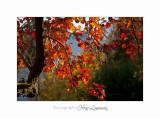 2017 10 IMG_2143 arbre automne PHOENIX.jpg